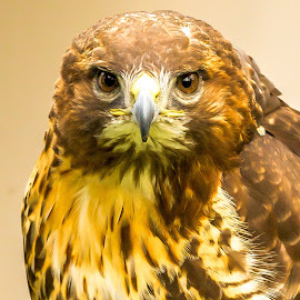 Hawk Portrait  by Vicki Roebuck - Animals Birds ( bird of prey, stare, beak, feathers, hawk, eyes )