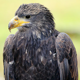 Young eagle by Gérard CHATENET - Animals Birds