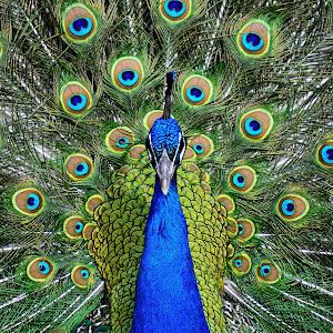 Peacock Bloom Refresh.jpg