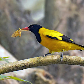 Black Hooded Oriole or Bene bou ( in Bengali ) by Arindam Chakrabarty - Animals Birds