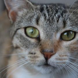 Rusty by Linda Antenucci - Animals - Cats Portraits (  )