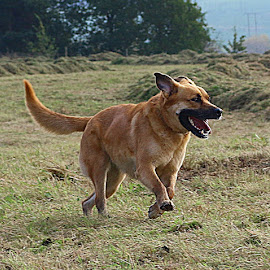 Happy Brandy by Chrissie Barrow - Animals - Dogs Running ( smooth, happy, pet, fur, ears, legs, dog, crossbreed, tail, running, tan )