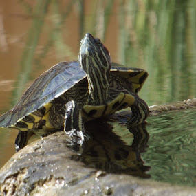 tony the turtle by Gavin Willmott - Novices Only Wildlife