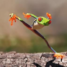 kungfu frog by Shikhei Goh II - Animals Amphibians ( frog, shikhei )