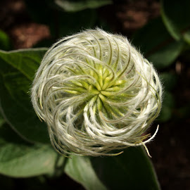 Flower by Becki Barnard O'Connor - Nature Up Close Gardens & Produce ( plant, swirl, green, garden, flower )