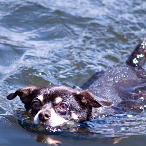 Swimming Chihuahua by Vala Valgeirsdóttir-Vincent - Animals - Dogs Playing ( playing, puppies, dogs, dog, swimming )