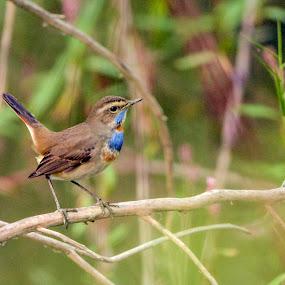 Bluethroat by Maroof Rana - Animals Birds ( bird, nature, wildlife, nikon, bluethroat )