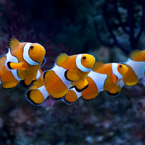 Lined up... by Leonardi Ranggana - Animals Sea Creatures ( fish, clown fish )