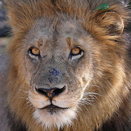 Lion King! by Anthony Goldman - Animals Lions, Tigers & Big Cats ( big cat, wild, lion, predator, sabi sands, nature, wildlife, londolozi, male.matshipiri )