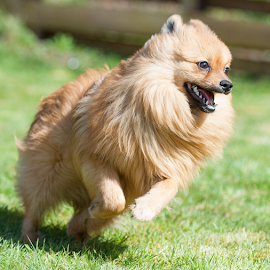 by Michael  M Sweeney - Animals - Dogs Running ( pomeranian )