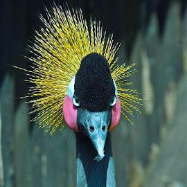 Eyes On by Francisco  Little - Animals Birds ( bird, royal, crown, crane, golden,  )