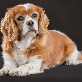 Who You Looking At?! by Linda Johnstone - Animals - Dogs Portraits ( king charles, pet photography, dogs, pets, cute, soft fur )