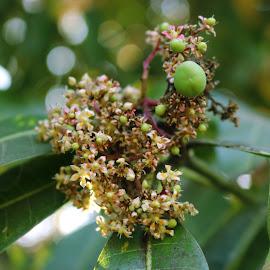 Mango tree flowering by Shaji Kalary - Nature Up Close Gardens & Produce (  )