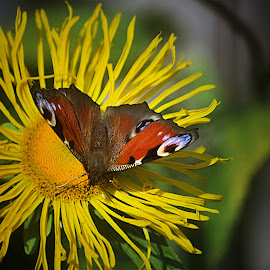 Butterfly by Tina Stevens - Animals Insects & Spiders ( orange, butterfly, green, colors, white, daisy, yellow, insect, colours, nature, brown, rust, garden, black, flower, animal )
