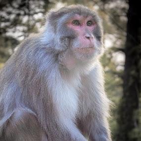 Lamarck by Fateen Younis - Animals Other Mammals ( wildlife, portrait, monkey, animal,  )