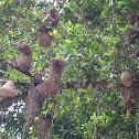 Montezuma Oropendola Nests, Wasp Nests