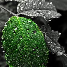 Raindrops by Krešimir Prskalo - Nature Up Close Leaves & Grasses ( nature, nature up close, raindrops, leaves )