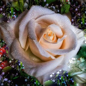 Digital Rose by Dave Walters - Digital Art Things ( coloes, nature, rose, lumix fz2500, digital art )