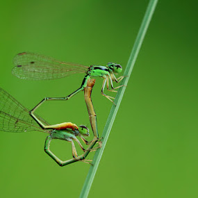 Loving II by Said  Ikhsan - Animals Insects & Spiders ( macro, nature )