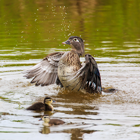 Splish Splash by Briand Sanderson - Animals Birds ( bird, nature, canada, duckling, wood duck, reifel bird sanctuary, duck, aix sponsa, british columbia,  )