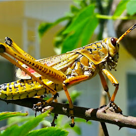 { Grass Hopper with Spider web }  by Jeffrey Lee - Animals Insects & Spiders ( grass hoppers )