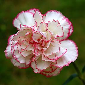 Carnation by Chrissie Barrow - Flowers Single Flower ( single, petals, green, white, carnation, pink, bokeh, flower,  )