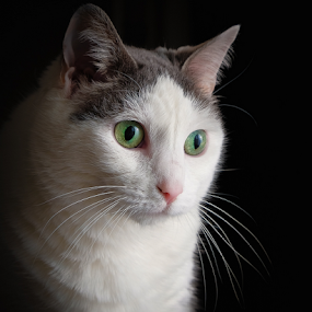 My Gracie by John Edwin May - Animals - Cats Portraits ( japanese bobtail, feline,  )