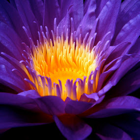 Purple Sunshine by Ryan Bunting - Nature Up Close Flowers - 2011-2013 ( macro, lily, nature, purple, tropical, yellow )