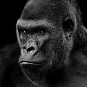 Gorilla Left8 Final bw.JPG