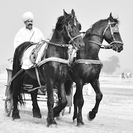 ELEGANCE  by Arsalan Sandhila - Transportation Other ( buggy, horses, black and white, horse, horsecart, cart, blackhorse, black )