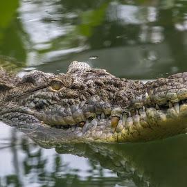 by Özgür Derbentoğlu - Animals Amphibians ( water, animals, nature, amphibian, claws, teeth, dangerous, close up )