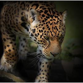 Hunter by Paul Fine - Animals Lions, Tigers & Big Cats ( jaguar, spots, predator, big cats, endangered species, rare, stalking, eyes, amazon )