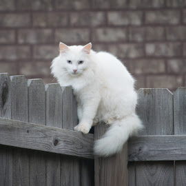 Cat on a Fence by Kevin Bittner - Animals - Cats Portraits ( fence, cat, white, cat on a fence, white cat,  )
