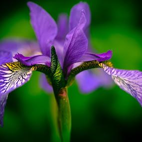 FlowerEditedIRIS by Forrest Covin - Flowers Single Flower (  )
