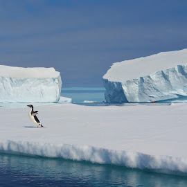 Antarctic Ice Flows by Roger Isaac - Landscapes Travel ( antarctica, sunny, ice, boats, penguin )