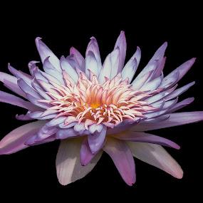 Majestic Waterlily by Joan Sharp - Flowers Single Flower ( water, backgrounds, aquatic flowers, flowers, ak 2013,  )