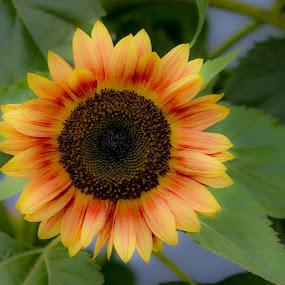 by Marjorie Bazluki - Flowers Single Flower (  )