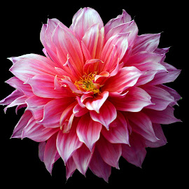 Dahlia by Asif Bora - Flowers Flower Gardens
