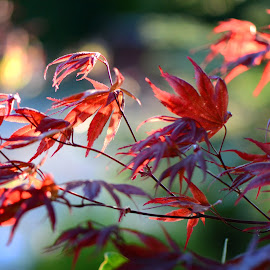 Red Acer Backlit by Wendy Milne - Nature Up Close Trees & Bushes ( plant, red, leaf, red acer, garden )