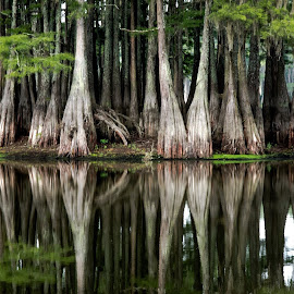 Cypress trees by David Booker - Landscapes Waterscapes