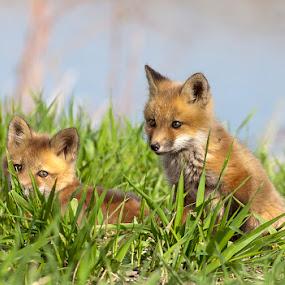 Red Fox Cubs / renards roux juvéniles by Rachel Bilodeau - Animals Other Mammals ( red fox cubs / renards roux juvéniles )