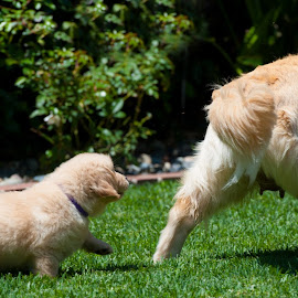 Yo, I'm hungry! by Kevin Mummau - Animals - Dogs Puppies ( puppies, puppy, dog, nursing, mom, golden retriever )