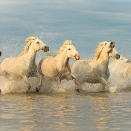Mares in water  by Helen Matten - Animals Horses ( water, galloping, colour, mares, wild, horses, camrague, white )