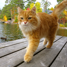 Dreamer, Sonny by Barbara MacInnis - Animals - Cats Portraits ( love, orange cat, fall colors, fall, duck, lake, beauty, outside, dock )