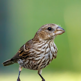 Female House Finch by Buddy Woods - Animals Birds ( bird, backyard bird, house finch, female house finch, finch, birds )