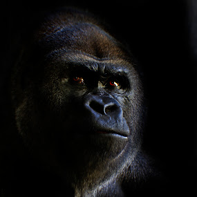 From the Shadows one by Ken  Frischkorn - Animals Other Mammals ( chimpanzee, mountain gorilla, jungle, ape, rain forest, gorilla, forest, primate, monkey, lowland gorilla, great ape )