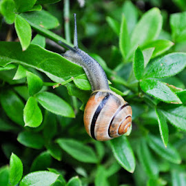 Snail in the gardens at Ann Hathaway's Cottage: Shottery, England  by Heidi Austin - Nature Up Close Gardens & Produce ( england, plants, snail )