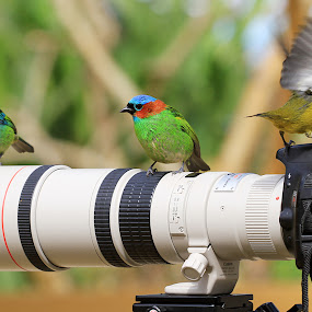 Fighting by Itamar Campos - Animals Birds ( bird, green-headed tanager, blue dacnis, red-necked tanager, bananaquit )