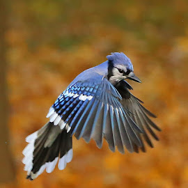 Fall jay by Diane Irwin - Animals Birds ( wings, blue jay, midair, fallcolors )