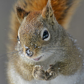 Happy by Isabelle VM - Animals Other Mammals ( snow, redsquirrel, mammal )